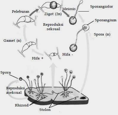 jamur   biologi sma